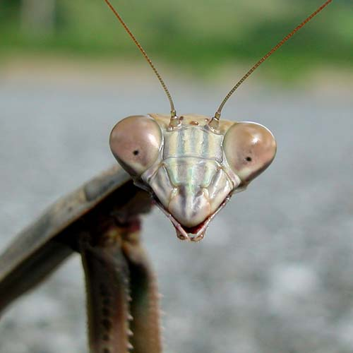 Mantis Smile by Mike McCaffrey (flickr: mccaffry)
