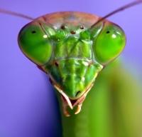 Portrait of a Praying Mantis by David Panevin (flickr: david_panevin)