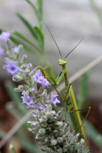 Praying Mantis by Lucy Bold (flickr: ljpixie75)